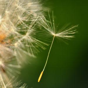 Ein Samen einer Pusteblume schwebt davon und sieht dabei aus wie ein Fallschirm. Macro Aufnahme eines einzelnen Samens.