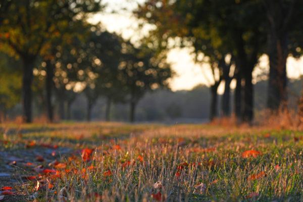 Bild von einem Feldweg im Herbstlicht. Rotes Laub liegt am Boden und Bäume bilden eine Allee. Fotografie aus der Froschperspektive.